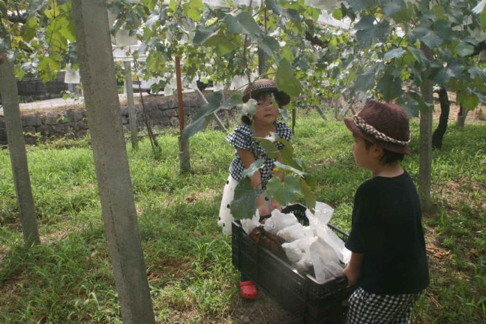 子供2人によるぶどう収穫
