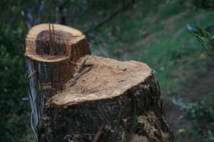 伐採杉の切り口