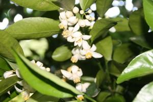 土佐文旦の花