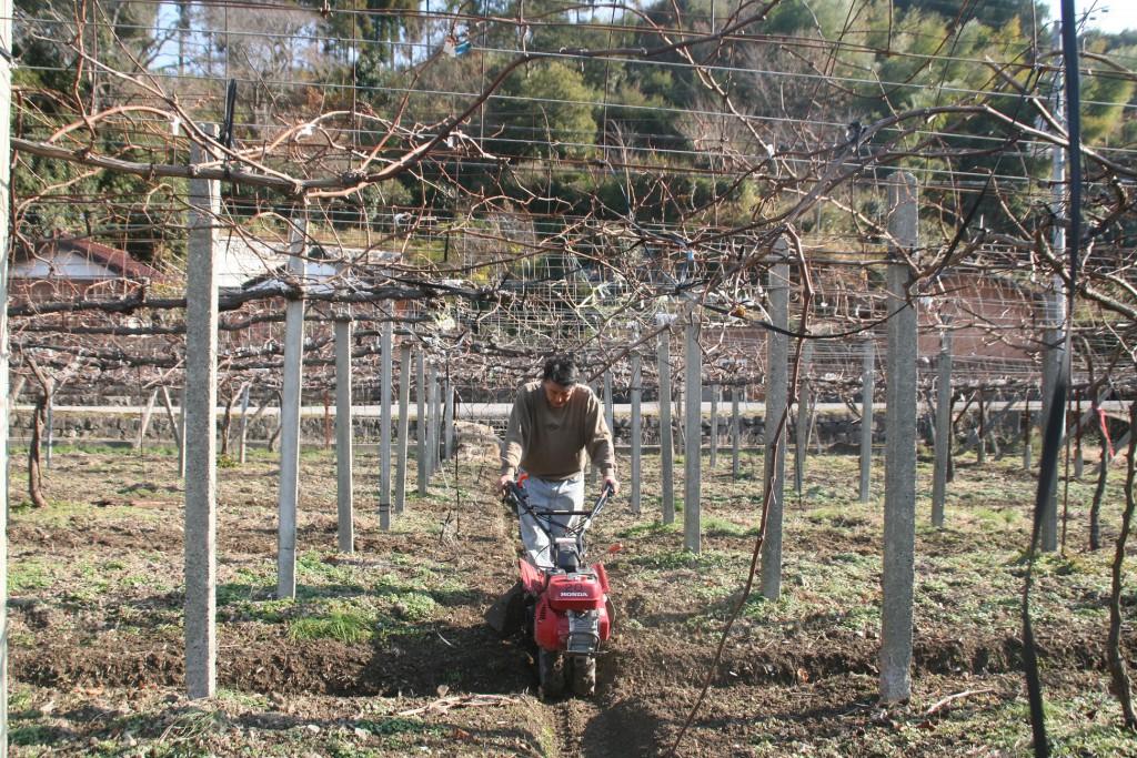 管理機でブドウ畑を溝上げ