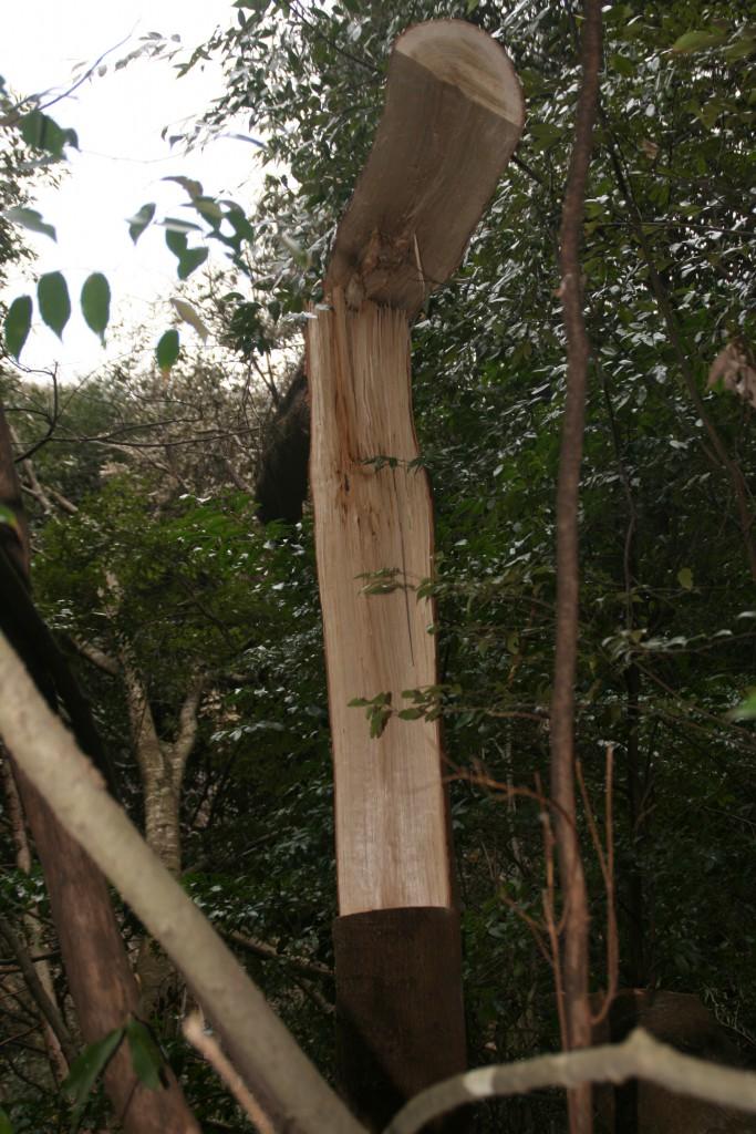 椎の木が木に掛かった