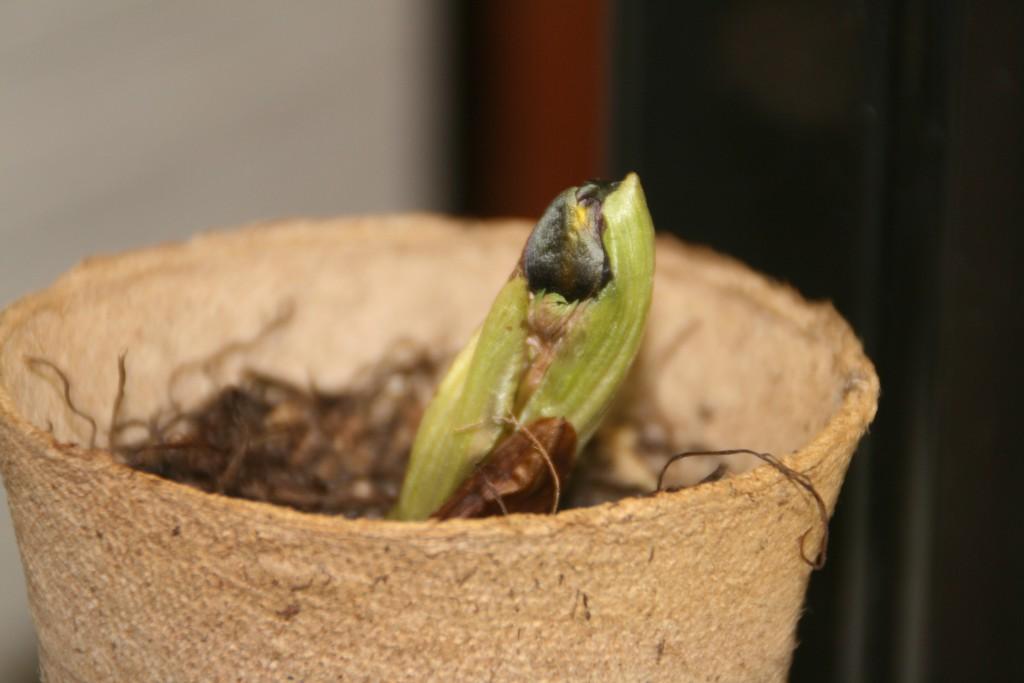 福寿草の蕾