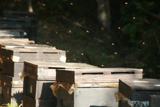 蜜蜂箱より飛び立つ
