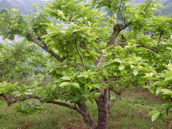 100年柿の木