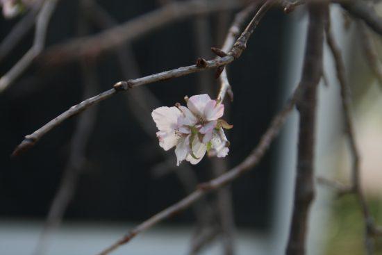 俳句 帰り花