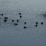 もりおかぶどう園は波介川沿いにあります。今年も沢山の鴨が飛来して在り付いています。