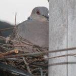 ぶどうの棚に鳩が抱卵していましたがいつの間にか2羽で・・・