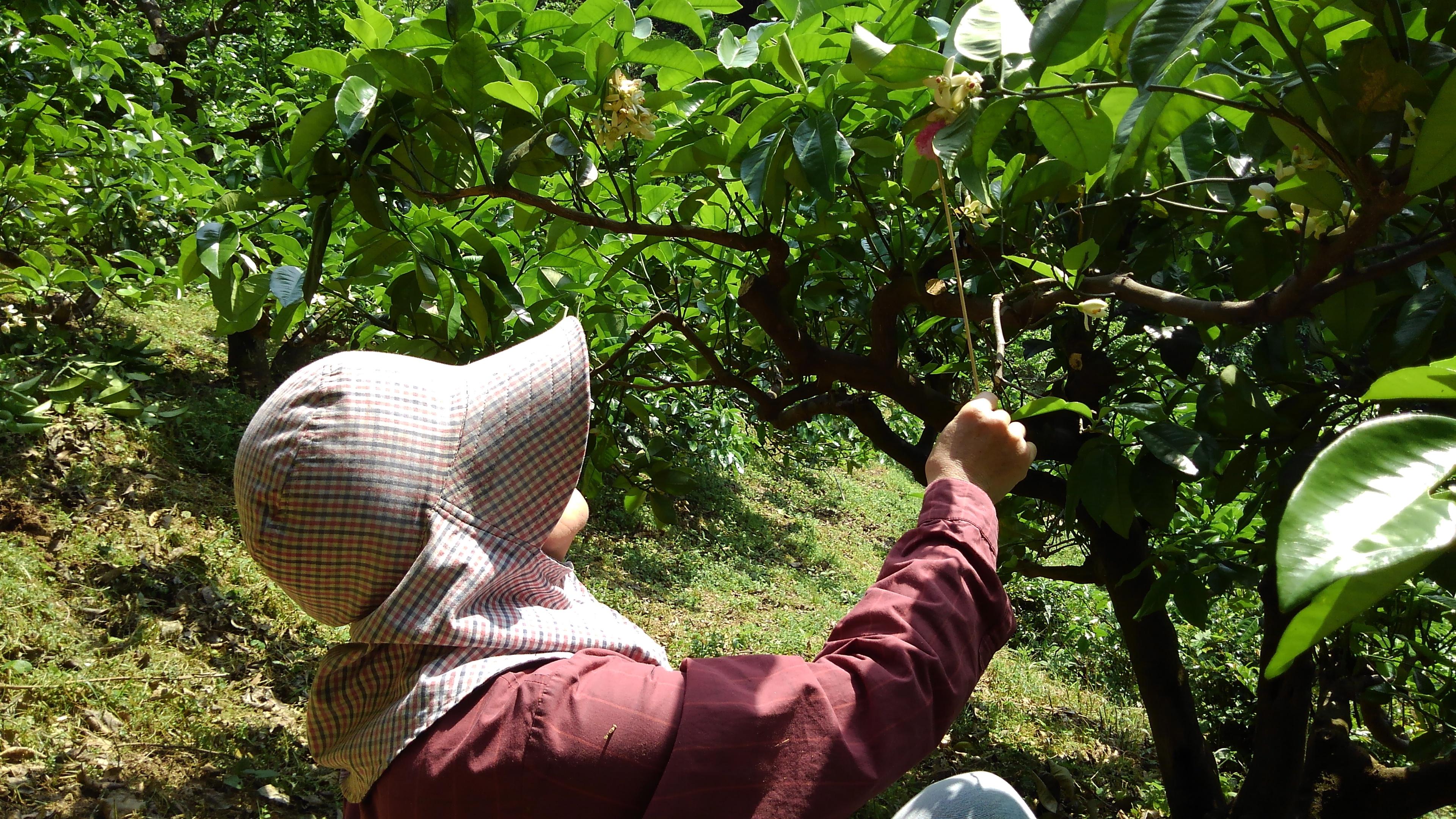 文旦のめしべに小夏の花粉を人工授精