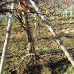 チェーンブロックでぶどうの根を掘り起こす。