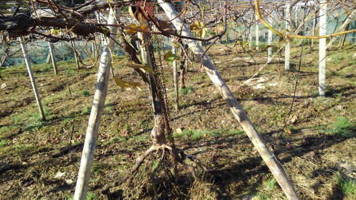 チェーンブロックでぶどうの樹を掘り起こす