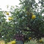 201712-29文旦収穫