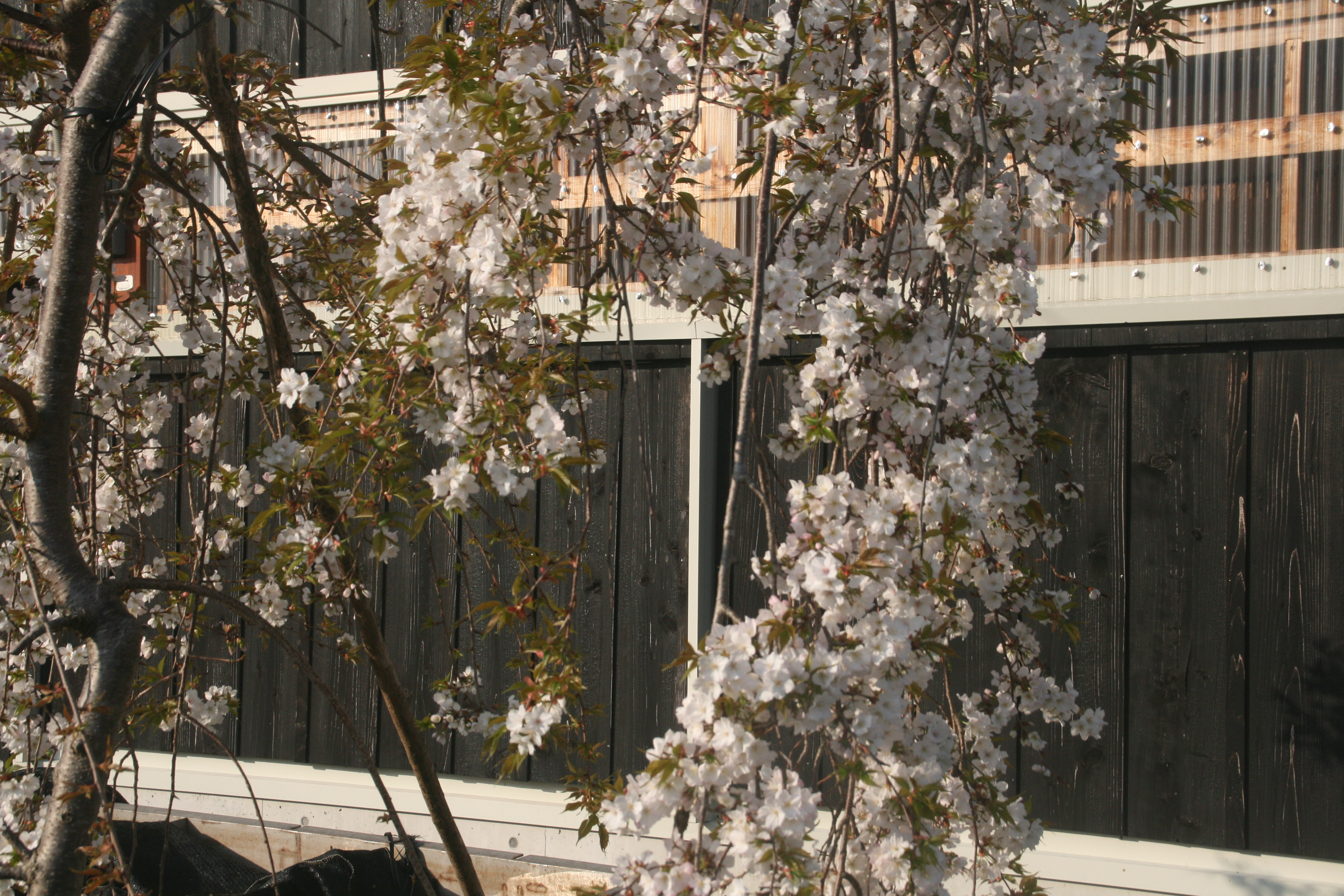 枝垂れのソメイヨシノ