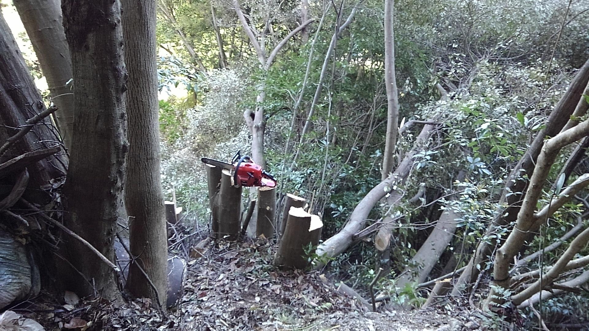 椎の木を伐採