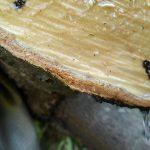 椎の木の樹液が流れ出します