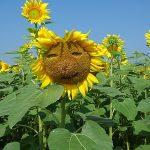 友人の10万本早咲きひまわり畑