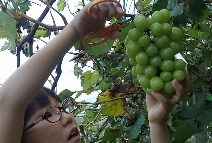 シャインマスカット収穫ナナちゃん